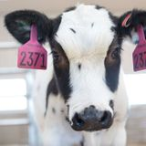 Human trials to start next month for COVID-19 antibody treatment derived from cow blood