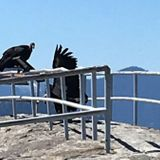 California Condors Return to Sequoia National Park for First Time in 50 Years