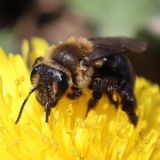 About 94 per cent of wild bee and native plant species networks lost, York study finds