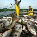 Seafood's antibiotic crisis: Fish farming is creating an animal welfare disaster