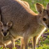 This Wallaby Species Can Be Pregnant Its Entire Adult Life With No Break, Study Finds