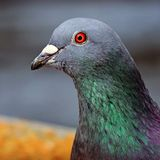Scientists Have Reportedly Discovered Remains of Giant Pigeon