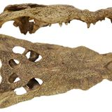 Ancient skull could be 'missing link' between African and American crocodiles