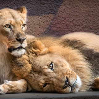 L.A. Zoo mourns loss of beloved pair of African lions who were loyal companions