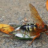 Giant wasps are emerging across Pennsylvania, but they're native and relatively harmless