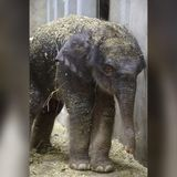Baby elephant dies 27 days after his birth at St. Louis Zoo