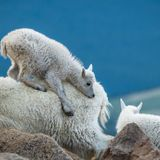 Scientists investigate mountain goat disease on Mount Evans
