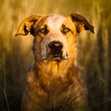 Stop coddling your dog—he's 99.9% wolf