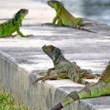 National Weather Service warns of falling iguanas in Florida