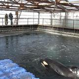 Time running out for orcas, belugas trapped in icy 'whale jail'