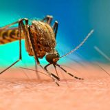 750 million genetically engineered mosquitoes approved for release in Florida Keys