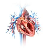 Boosting NAD+ levels improves heart function in mice with heart failure