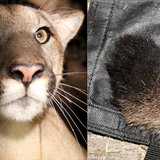 Deformed tails in Santa Monica Mountains' cougars indicate inbreeding that could lead to extinction