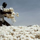 """How the """"success story"""" of genetically modified cotton in Burkina Faso fell apart"""