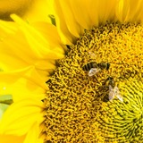 Honeybees That Solve Math Problems Challenge Supremacy of Human Brains