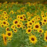 Wisconsin Farmer Plants 2 Million Sunflowers To Make People Smile