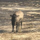 Hay urgently needed to feed 8,000 surviving cattle of Eastern Washington wildfires