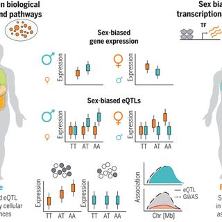The impact of sex on gene expression across human tissues