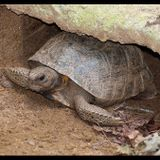 Florida Fish and Wildlife Conservation Commission Launches New Way To Report Gopher Tortoise Sightings