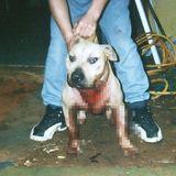 Taiwan mulls total ban on pit bulls   Taiwan News