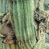 Woman snaps photos of bobcats on cactus in Apache Junction