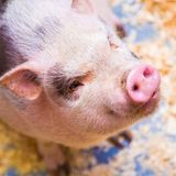 Scientific American under fire for promoting Taiwan's new policy for US pork imports   Taiwan News