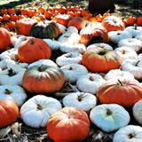 Where to find pumpkin patches around the San Antonio area