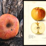 Lost apple found: 'Elusive' Colorado Orange apple, thought to be extinct, resurrected