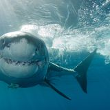 Coronavirus Vaccine Could Result in Half a Million Shark Deaths