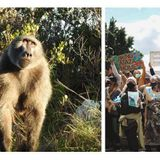 Baboon put in jail for raiding homes, city protests • The Pigeon Express