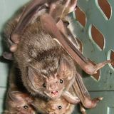 Even vampire bats do social distancing when their friends are sick