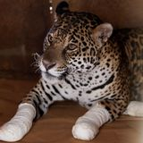 Wildlife Suffers as Brazil's Pantanal Wetland Burns