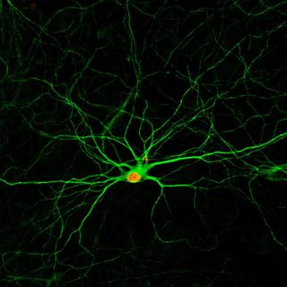 Astrocytes Converted to Neurons