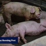 New coronavirus strain found in swine could jump to humans, says US study