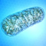 Two Molecules Targeting Mitochondria Synergistically Improve Aged Heart Function