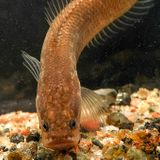 Dragon snakeheads—strange new underground fish—discovered in India