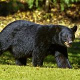 Suspect charged for shooting black bear in Del Rio