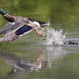 Texas waterfowl hunters can help stop spread of invasive species