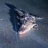 Driver says he ran over alligator on Zierdt Road