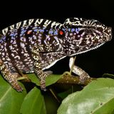 Scientists have rediscovered a chameleon in Madagascar last seen 100 years ago