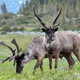 Parks Canada plans first captive breeding program for Jasper National Park caribou