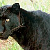 Man gets mauled after paying $150 to 'belly rub' captive black leopard • The Pigeon Express