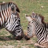 Baby zebra named 'HOPE' dies in England zoo after being startled by fireworks • The Pigeon Express