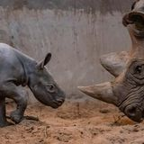 Ultra-rare rhino birth is caught on camera at Chester Zoo | Living