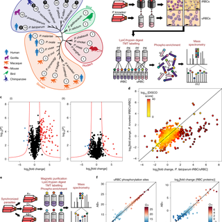 An exported kinase family mediates species-specific erythrocyte remodelling and virulence in human malaria | Nature Microbiology