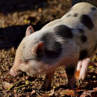 Texas woman arrested for punching officer who was trying to impound her pot belly pig, police say