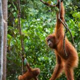 Endangered primates face high risk of catching COVID-19