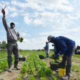 Migrant farm workers from Jamaica are being forced to sign COVID-19 waivers