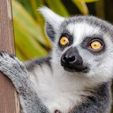 Chemists are decoding the fruity scent of lemur stink flirting