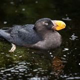 Tufted puffins, beloved at Cannon Beach, will not be listed as threatened